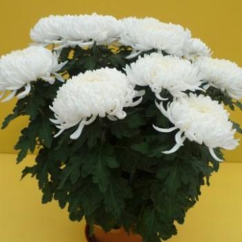 pot e grosses fleurs blanches les fleurs de la grange earl. Black Bedroom Furniture Sets. Home Design Ideas